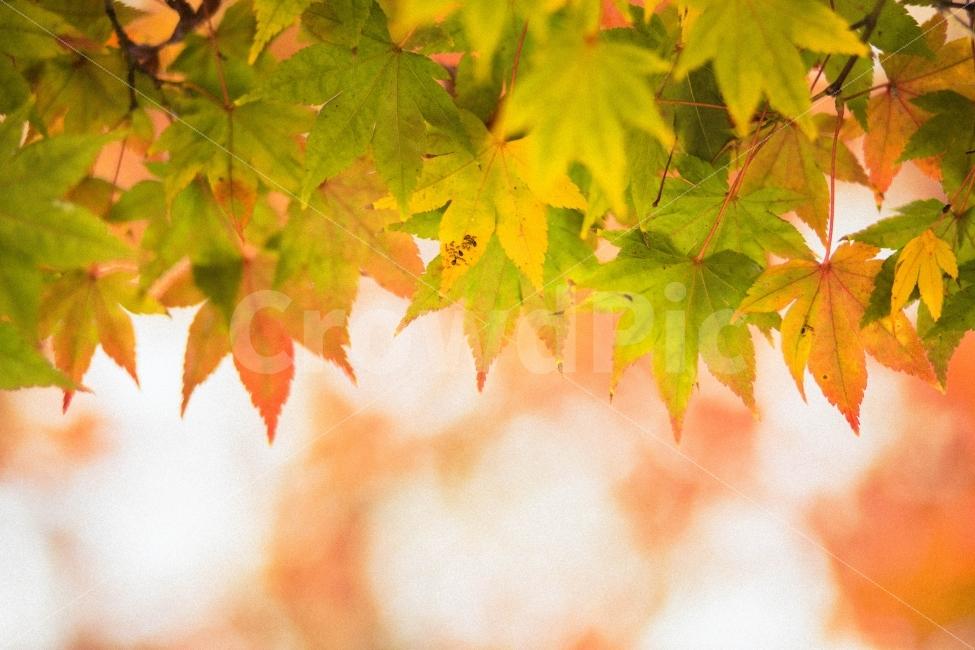 단풍, 단풍나무, 가을, 단풍놀이, 감성사진