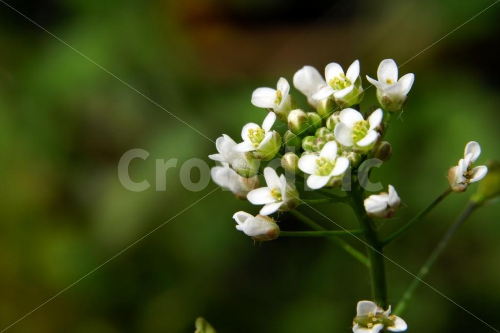 봄, 꽃, 말냉이, 플라워, 꽃봉오리