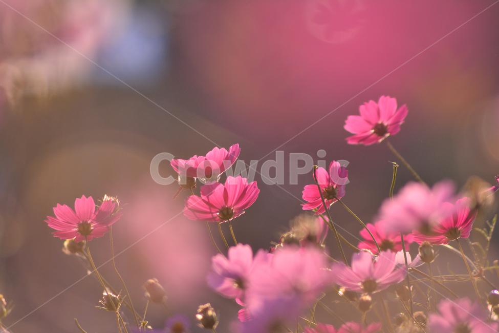 가을, 가을배경, 감성사진, 코스모스, 가을꽃
