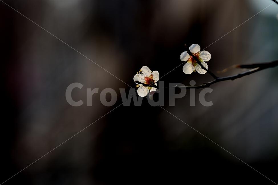 봄, 매화, 꽃, 봄꽃, 자연