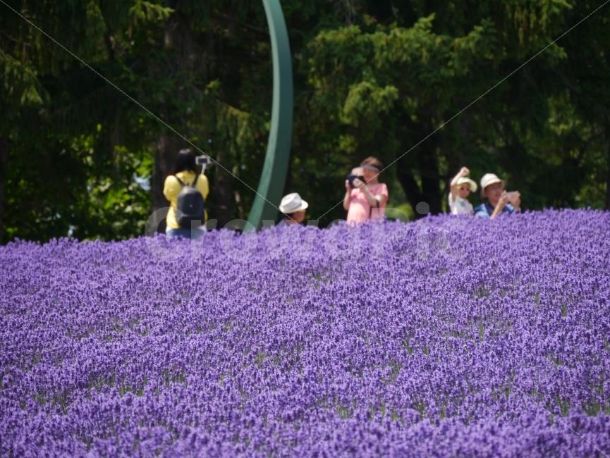 여행, 라벤더, 삿포로, 홋카이도, 꽃