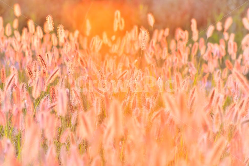 가을, 가을배경, 감성사진, 수크령, 노을