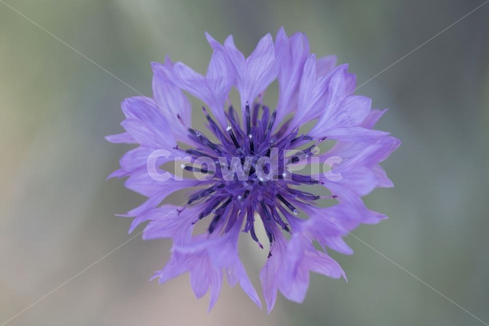 수레국화, 꽃, 꽃봉오리, 식물, 자연