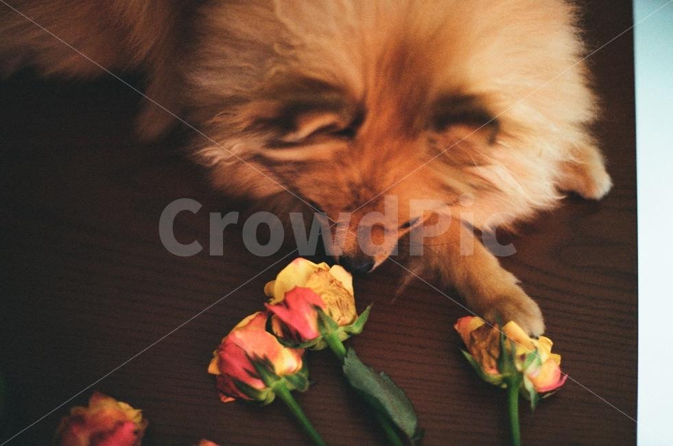장미, 꽃, 강아지, 동물, 아름다운