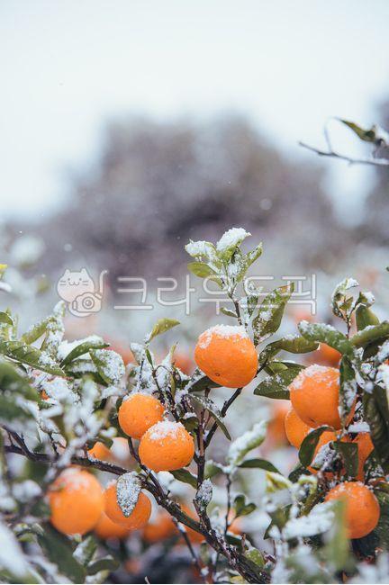 귤, 감귤, 노지감귤, 주렁주렁, 열매