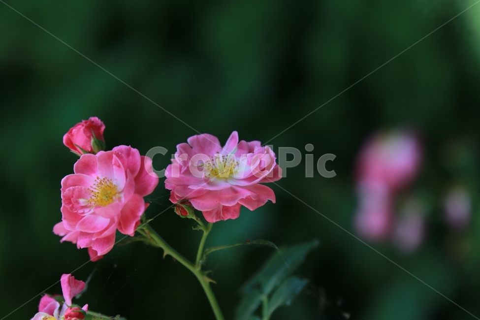 꽃, 야생화, 여름, 장미, flower