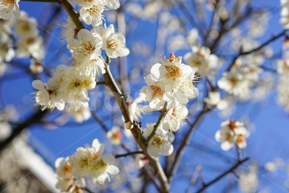 매화, 매화꽃, 봄, 나무, 꽃