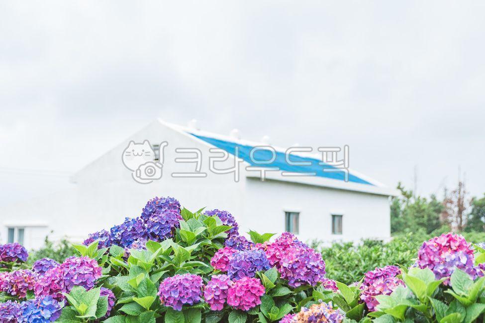 식물, 파란집, 수국, flower, plant
