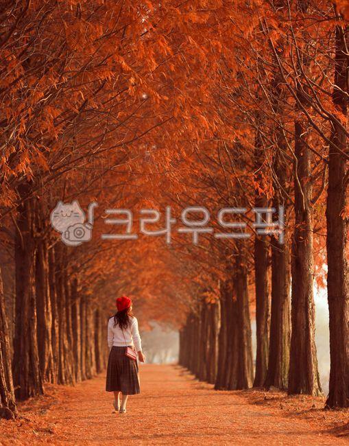 메타세콰이어, 메타세콰이어길, 가을, 단풍, 나무