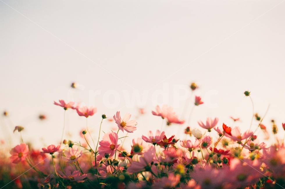 꽃, 코스모스, 가을, 감성사진, 식물