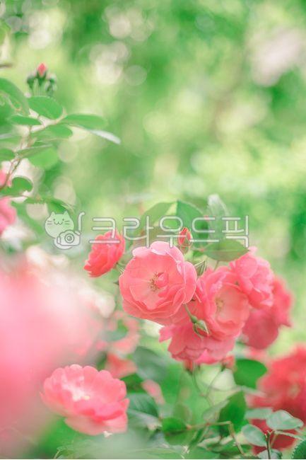 장미, 핑크장미, 식물, 꽃, flower