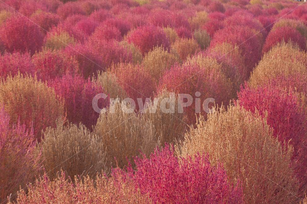 댑싸리, 핑크뮬리, 하늘공원, 봄풍경, 가을풍경