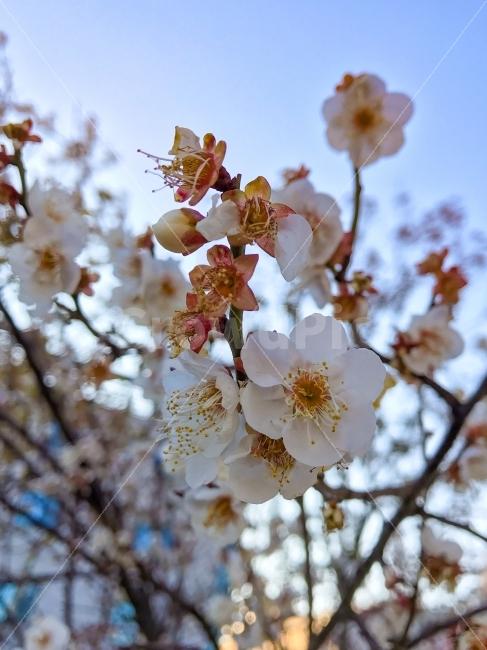 벚꽃, 봄, 사쿠라, 봄의꽃, 꽃