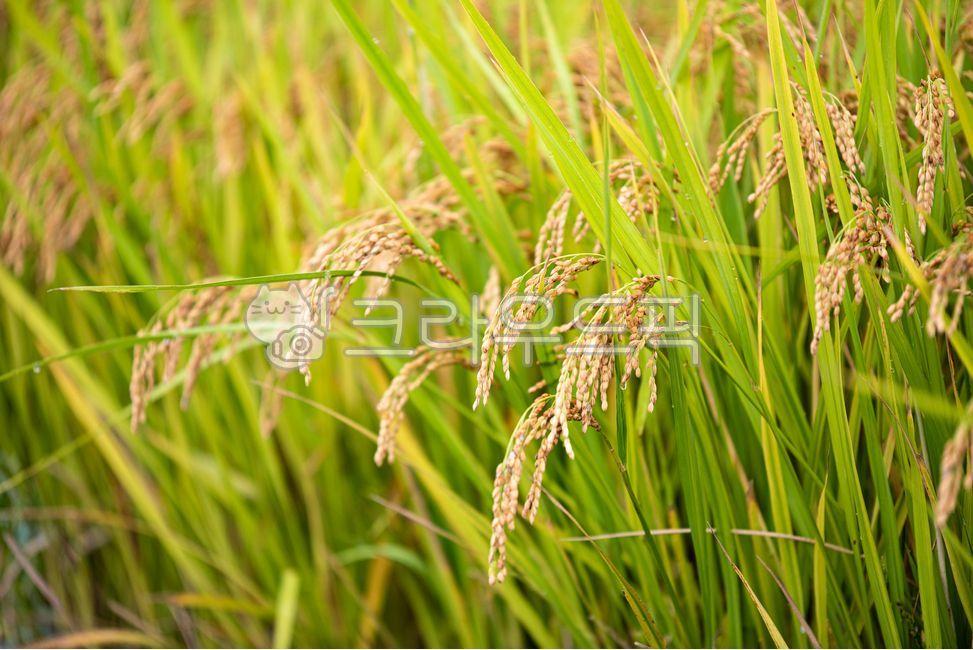 벼, 쌀, 고향, 시골, 한국