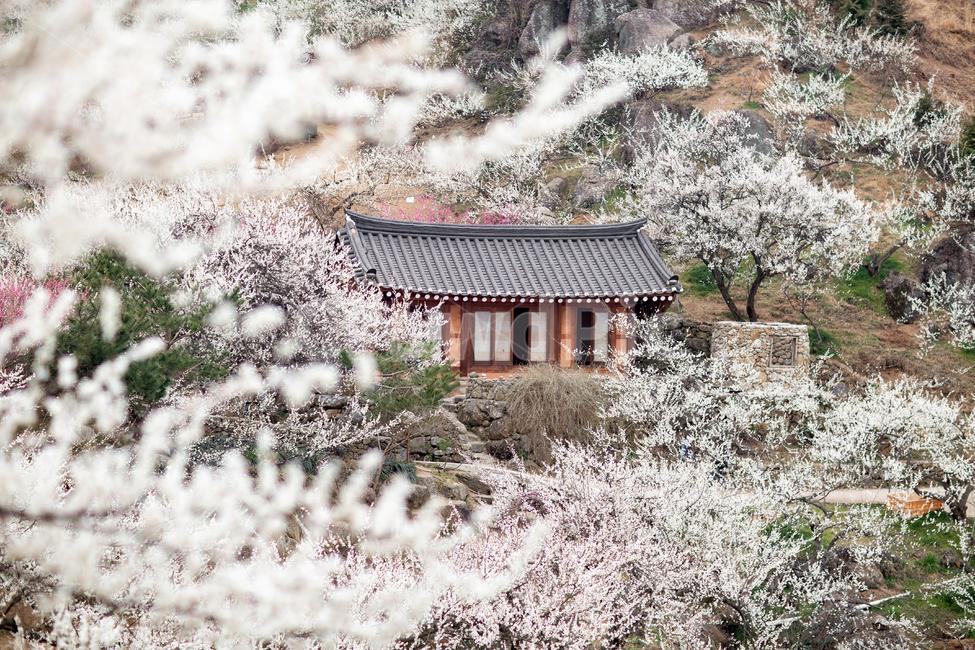 매화, 광양, 봄, 꽃, 자연