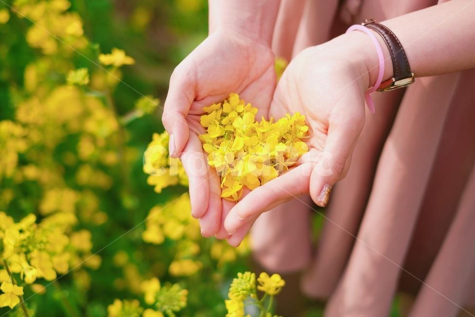 유채꽃, 유채꽃밭, 노란색, 꽃잎, 하트