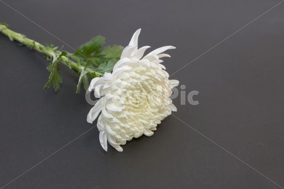 국화, 국화꽃, 추모, 기념, 꽃