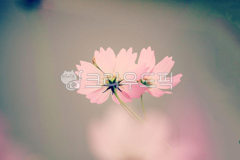 코스모스, 들꽃, 가을꽃, 가을, 10월