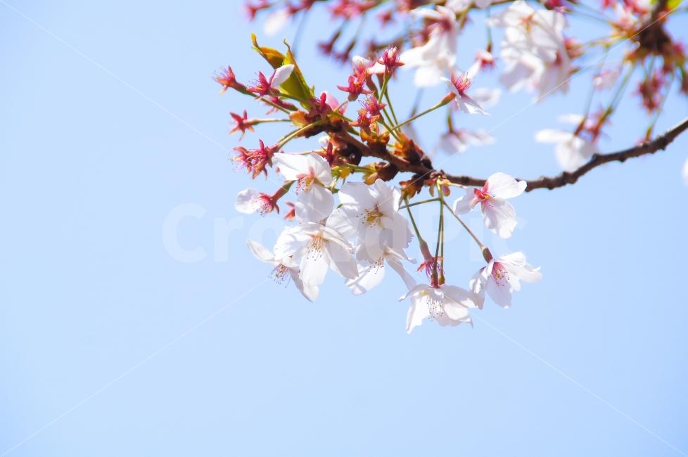벚꽃, 하늘, 공원, 꽃, 봄