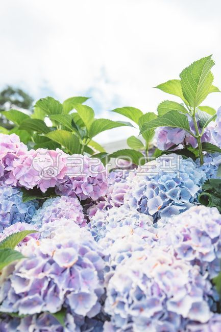 plant, flower, 꽃, 수국, geranium