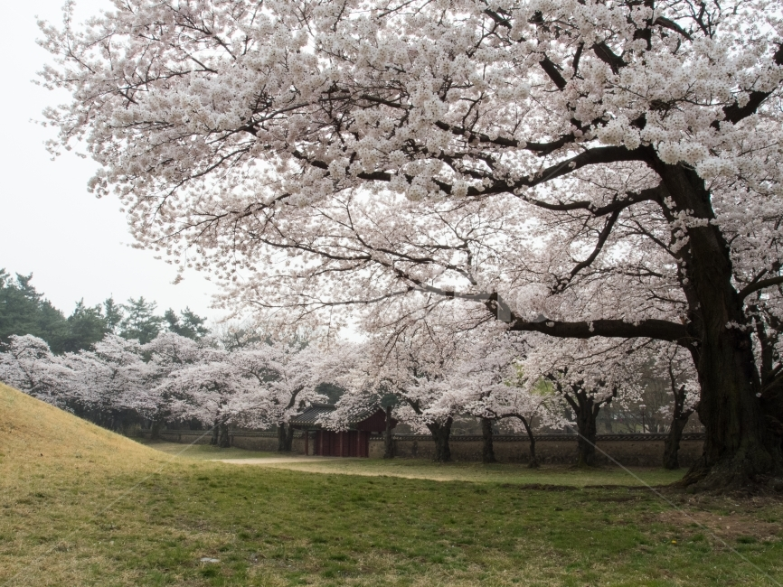 벚꽃, 왕릉, 대릉원, 경주, 식물 사진, 이미지