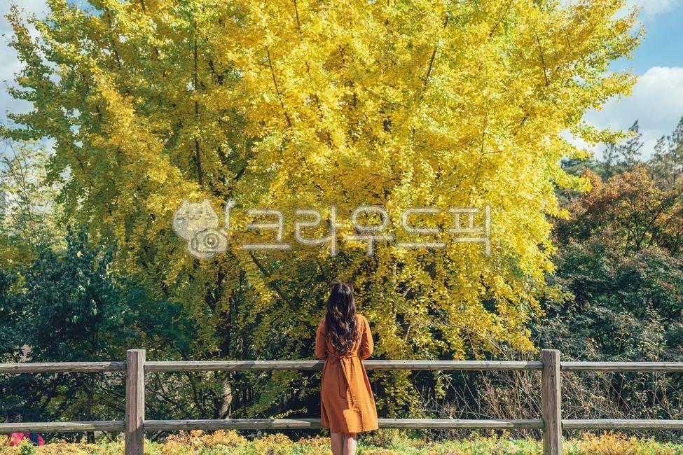 은행나무, 은행잎, 은행, 가을, 단풍