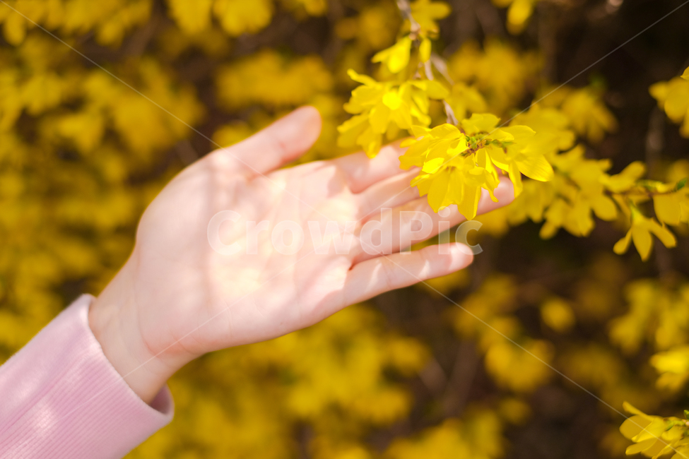 개나리, 봄꽃, 노란색, 분위기, 예쁜사진