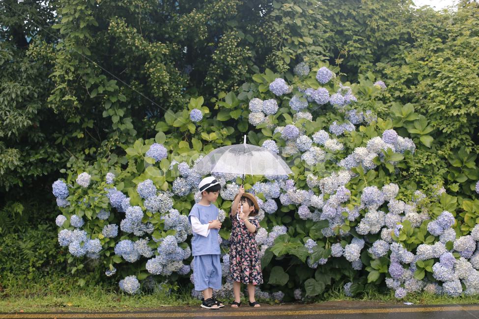 제주도, 남매, 수국, 소나기, 투명우산