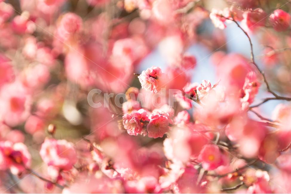 봄, 매화, 홍매화, 나무, 꽃