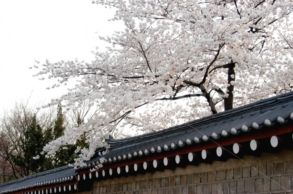 서울, 북촌마을, 돌담, 기와, 벚꽃