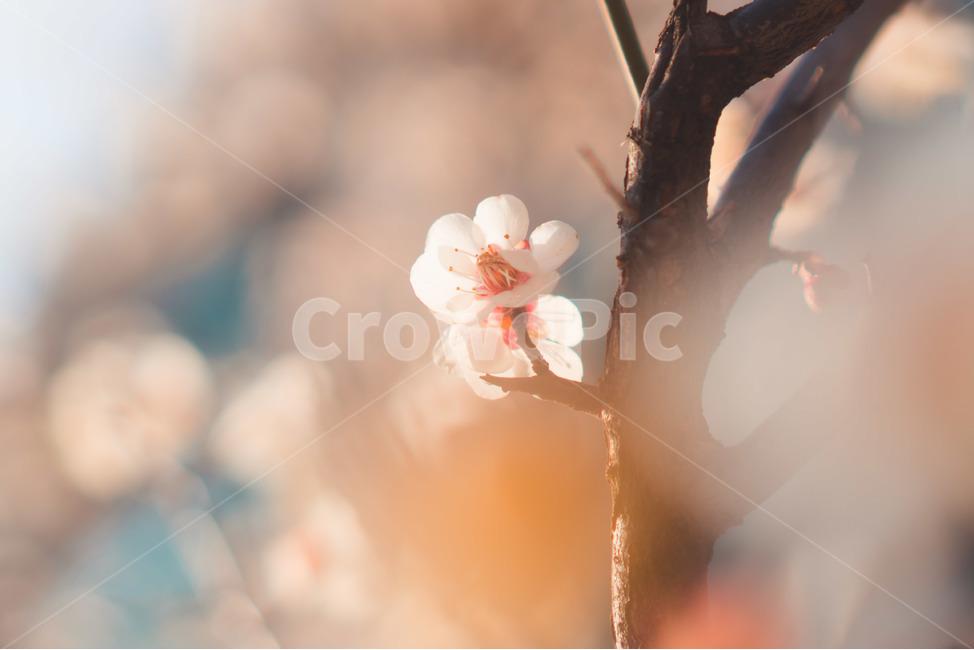 매화, 봄, 계절, 꽃, flower
