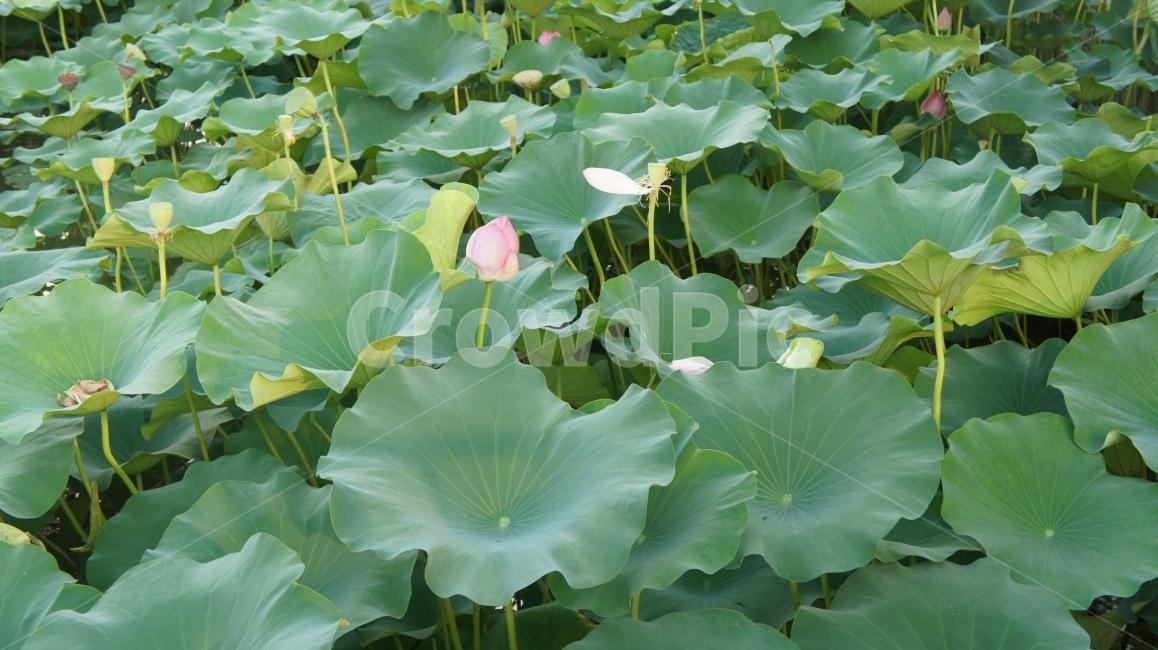 연꽃, 연잎, 연꽃잎, 초록, 연못