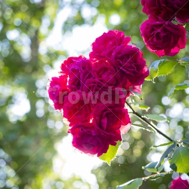 장미, 꽃, 초여름, 색감, 보케