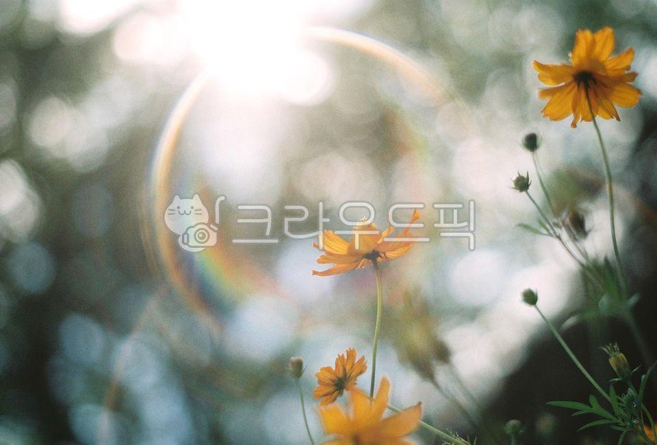 코스모스, 황화코스모스, cosmos, 꽃, flower