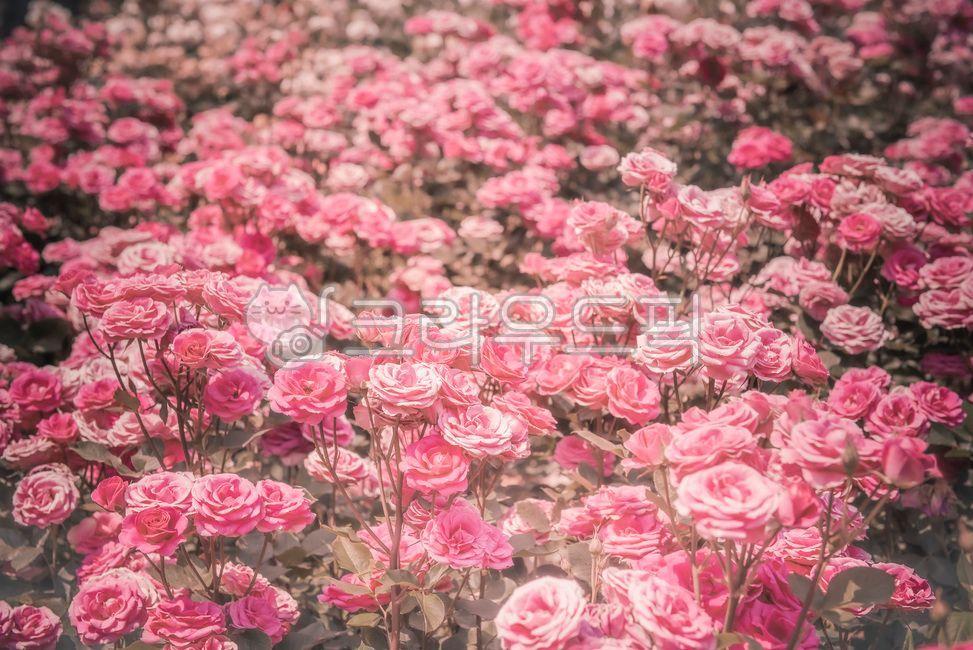 장미, rose, 꽃, blossom, flower