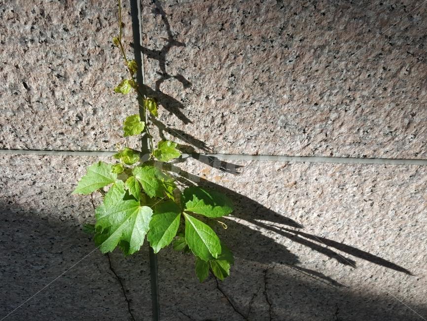 담쟁이, 그림자, 식물, 초록, 답벼락