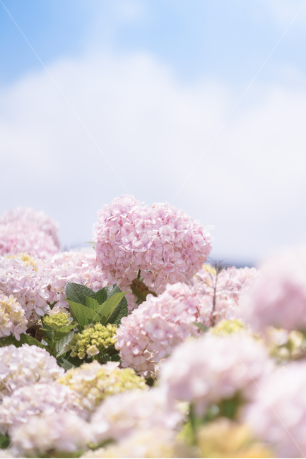 수국, 제주, 6월, 꽃, 보라색