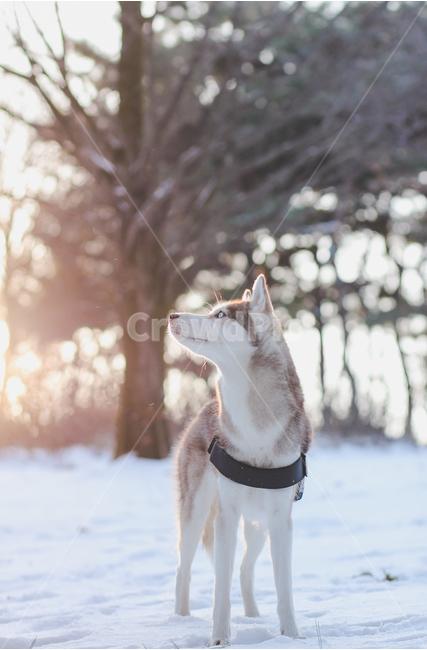 반려견, 허스키, 눈, 겨울, 개