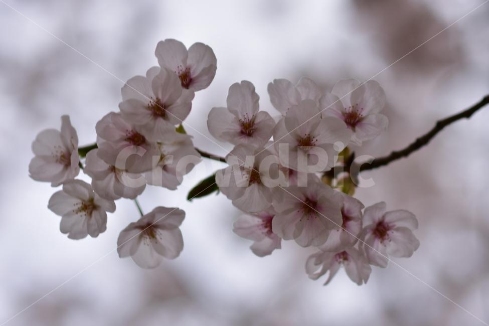 봄, 꽃, 봄꽃, 벚꽃, 흐린