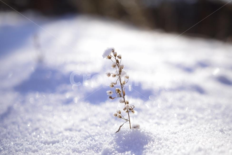 야생화, 눈, 눈부심, 겨울, 추위