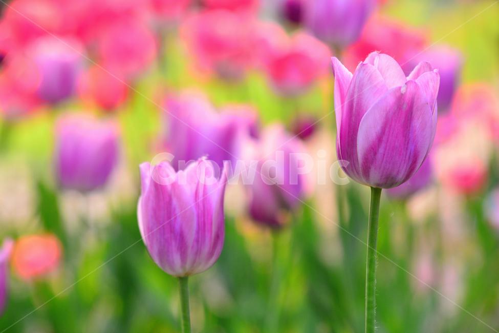튤립, 봄꽃, tulip, 봄이미지, 봄날
