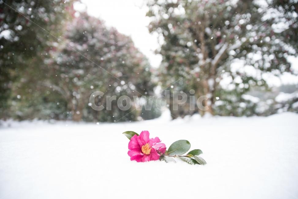동백, 동백꽃, 겨울풍경, 겨울사진, 꽃사진