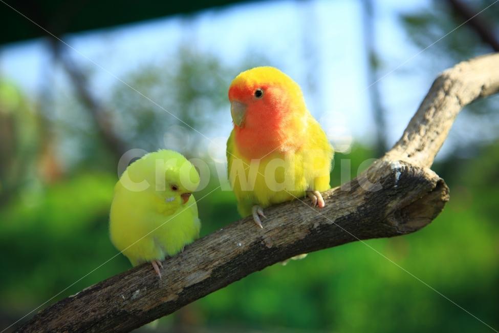 새, 앵무새, 가족, 짝, 구애