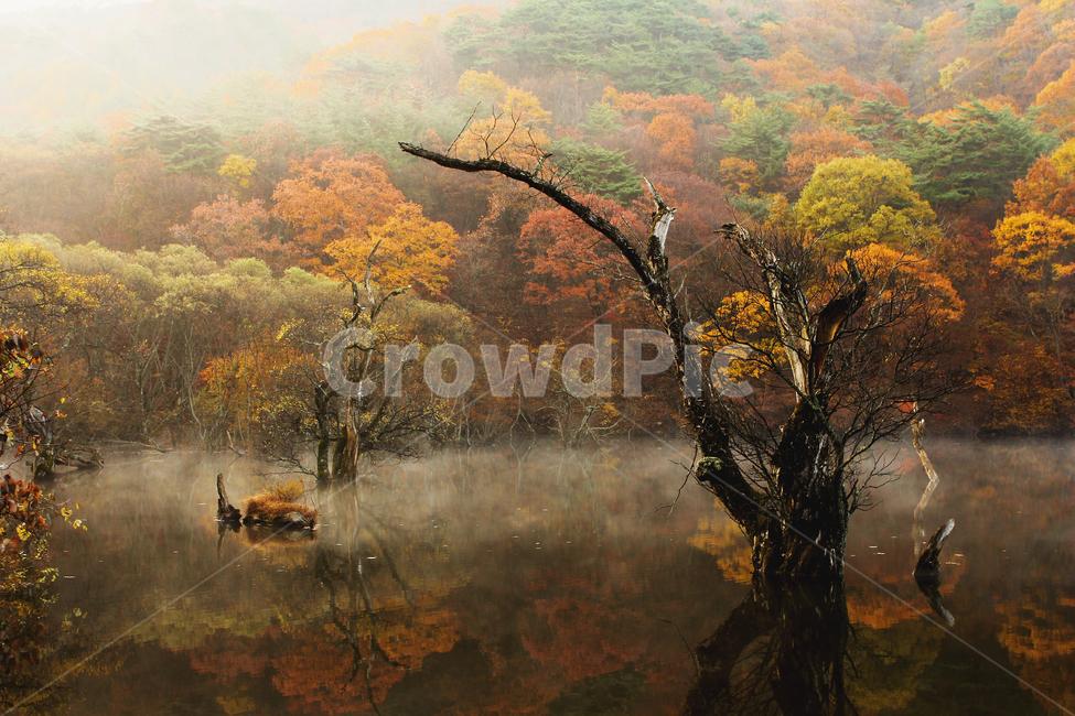 가을, 단풍, 주산지, 버드나무, 자연
