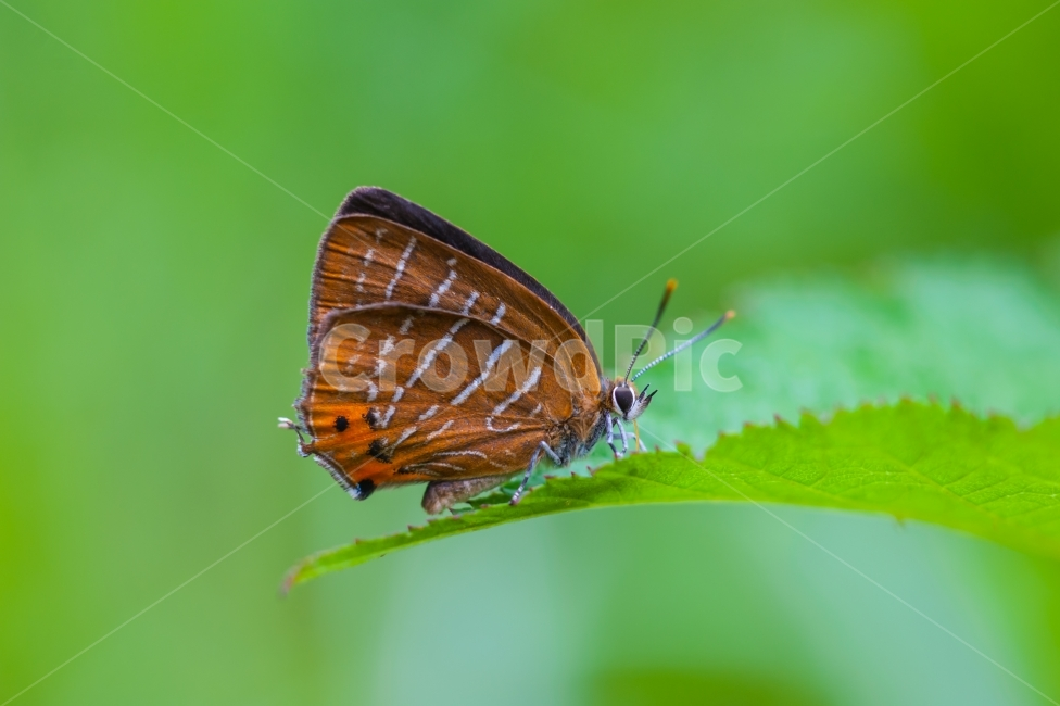 참나무부전나비, 부전나비과, 한국의나비, 곤충, 귀한나비
