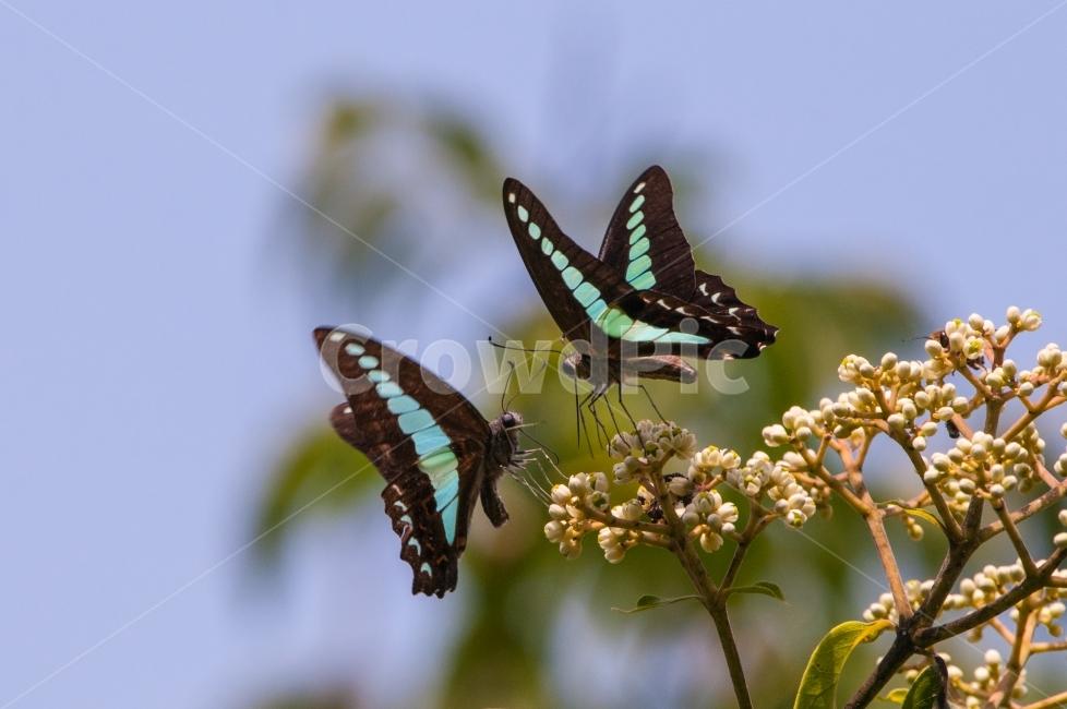 청띠제비나비, 곤충, 동물, 호랑나비과, 한국의나비