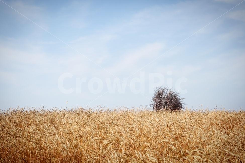 호밀밭, 안성팜랜드, 아련한, 하늘, sky