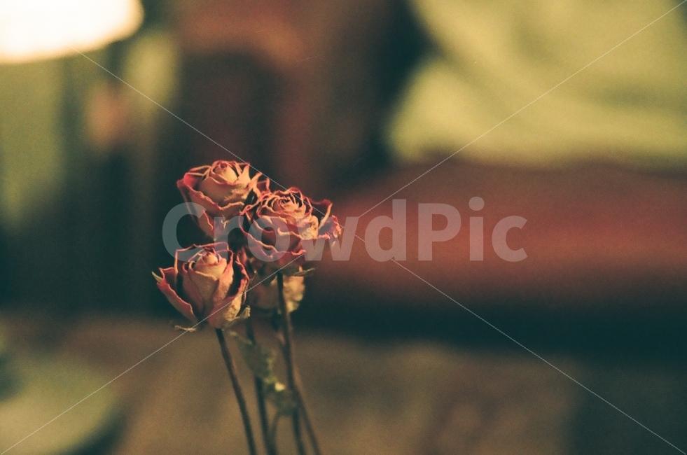 장미, 꽃, 드라이플라워, 카페, 인테리어
