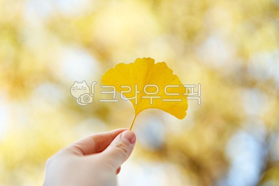 가을, 낙엽, 은행, 은행잎, 노란색