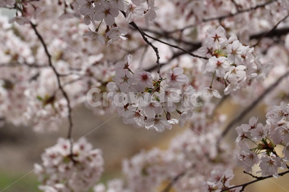 봄, 벚꽃, 꽃, 자연, 식물